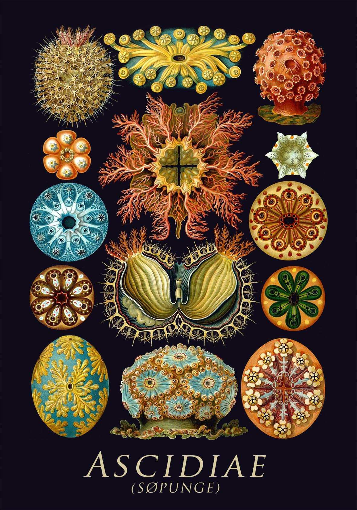 Ascidiae - Søpunge Plakat
