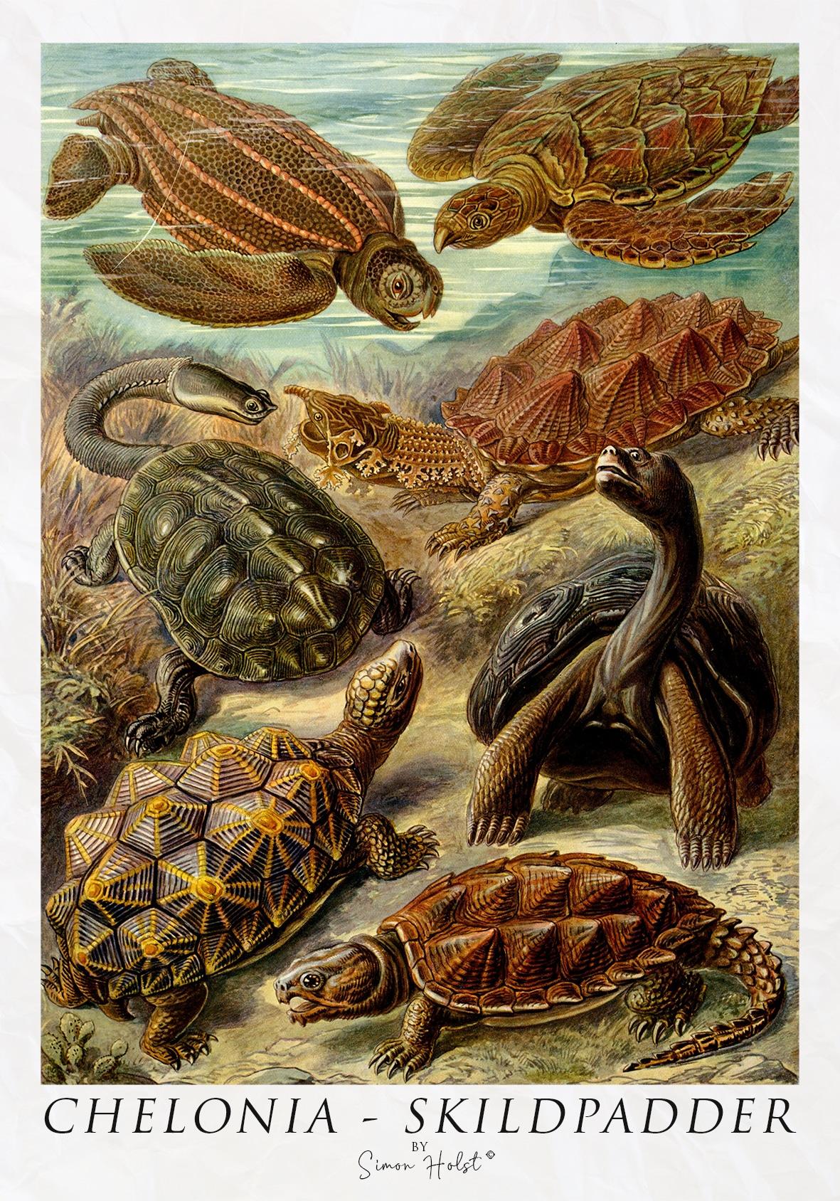 Chelonia - Skildpadder - Plakat